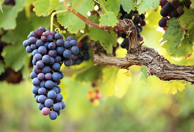 Vigne degli Olmi azienda vitivinicola fvg